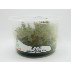 Rotala rotundifolia red kubek